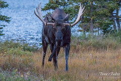 Mad moose. Brainard Lake, Colorado.