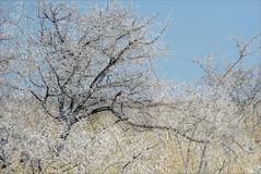 Etosha white (me*voilà) Tags: white tree landscape dry dust namibia etosha onblue camelthorn thornbush etoshanationalpark