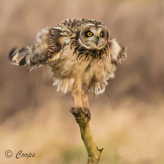 'Shaken not stirred' (coopsphotomad) Tags: bird nature wildlife feathers raptor shake british birdofprey shortie shortearedowl