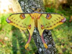 Argema mittrei (Female) (Lepsibu) Tags: saturniidae
