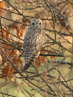 Short-eared Owl (1 of 2)