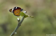 BUTTERFLY (PHOTOROTA) Tags: pakistan flickr abid photorota