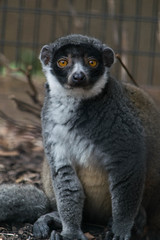 Mongoose Lemur (Crimson-Butterfly) Tags: animal animals st zoo louis lemur primate mongoose