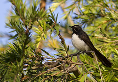 20160102_WillyWagtail_045 (_Scorps_) Tags: bird qld aus ipswich fantails austalia willywagtail rhipiduraleucophrys