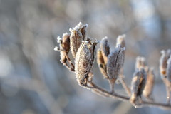 Frosted (hcorper) Tags: plant bokeh outdoor looks chilly seedpods bit frosted hbw nikond3100