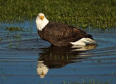 Bald Eagle-In Explore (jerrygabby1) Tags: