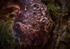 Old oak tree Fryrak Bygland 060216 (3) (Geir Daasvatn) Tags: macro oldtree oldoaktree bygland fryrak