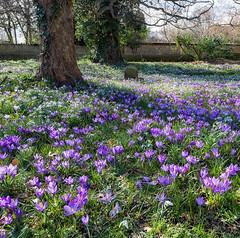 Spring Crocus (jactoll) Tags: flowers light landscape spring nikon crocus worcestershire d610 birlingham nikonfx 1635mmf4 jactoll nikonfxshowcase appicoftheweek