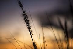 Au gr du vent (25yo | French | Photo-Retoucher) Tags: blue sunset sky orange grass yellow insect photography nikon purple 85mm tiny rays fullframe 18 sunrays d810 kirawashere