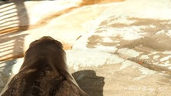 Video - Hawaiian Monk Seal (Victor Wong (sfe-co2)) Tags: ocean life travel sea summer vacation usa beach nature water ecology beauty animal mammal grey hawaii coast marine pacific waikiki outdoor wildlife relaxing scenic monk seal shore kauai hawaiian tropical environment honolulu alive resting endangered aquatic tranquil protected