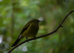 Bellbird (hmxhm) Tags: newzealand bird nature wildlife olympus wellington aotearoa zealandia
