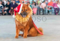 Chow Chow Dog In A Costume (kalypsoworldphotography) Tags: santa portrait dog pet brown cute hat animal tongue fur fun mammal happy stand costume friend looking close adult teddy outdoor contest chinese young adorable fluffy competition canine domestic disguise chow sit expressive presentation protective breed obedience companion playful dressed liondog loyal intelligent reddish purebred trained obedient sturdily