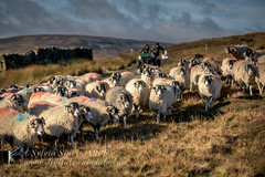 Rounding up the Sheep (Sylvia Slavin ARPS (woodelf)) Tags: winter light sheep yorkshire moors dales moorland swaledale reeth