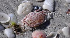 Hepatus epheliticus (calico box crab) (Sanibel Island, Florida, USA) (James St. John) Tags: island florida box crab calico crabs crustacean sanibel crustaceans carapace decapod decapoda brachyura hepatus decapods brachyuran epheliticus
