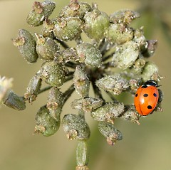 7 spotted Ladybird (Annette Rumbelow) Tags: 7 insects depthoffield ladybird spotted coccinella macroshots 7punctata annetterumbelowwilson