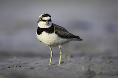 Little Ringed Plover (A T I K R A H M A N) Tags: cute nature birds canon river wildlife dhaka depth bangladesh littleringedplover 250mm 600d