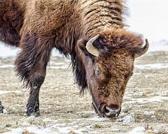 Yellowstone bison (Pattys-photos) Tags: winter yellowstonenationalpark bison
