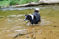 Juju (mcvmjr1971) Tags: travel dog beach brasil swim fun 50mm nikon collie play sopaulo border joy run cachorro viagem litoralnorte sosebastio barradouna prais f18d lensnikkor d7000 mmoraes