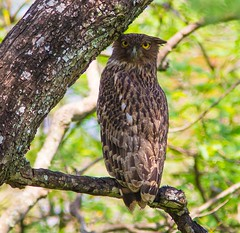 Brown Fish-owl (Allan Drewitt) Tags: brown india wildlife south kerala sanctuary chinnar ketupazeylonensis fishowl allandrewitt