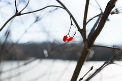Let's Dance (Captured Heart) Tags: dance brightred redberries hangingon winterberries