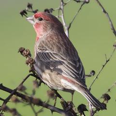House Finch (Haemorhous mexicanus) (uncle.dee9600) Tags: bird nikon telephoto finch housefinch haemorhousmexicanus nikond7200