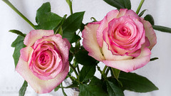 Pink roses (hippo350) Tags: family flowers cny