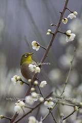 _IMG_EOS 1D X2136 (pechi-fieldtrip) Tags: nature birds japan