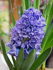 Hyazinthe (gartenzaun2009) Tags: blumen hyacinthus hyazinthe