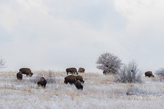January 31, 2016 - Bison graze on a snow-covered landscape at the Rocky Mountain Arsenal. (Tony's Takes)