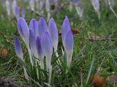 spring flowers (germancute) Tags: flower nature spring outdoor crocus frhling
