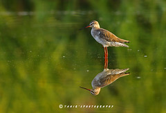 Spotted Red Shank (T@hir'S Photography) Tags: life travel pakistan red wild reflection green bird nature birds mirror image images getty spotted lover awan common abbas phot tahir shank sialkot