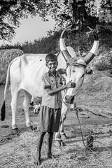 -  (Bull - Young Bull) ((NIZHARPADAM)) Tags: boy people india animal rural out blackwhite village riverside streetphotography bull international roadside pondicherry roi blackmagic indianstreetphotography rootsofindia