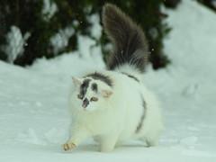 CSC_0369 (La Magie Du Moment) Tags: nature chat hiver neige extrieur blanc froid flin fauve