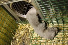 Dd minkvalp (Nettverk for dyrs frihet (Net. for Animal Freedom)) Tags: mink minkfarm pelsfarm pelsdyroppdrett minkvalper