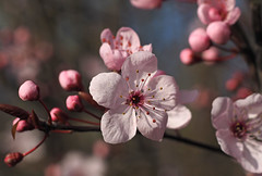 spring blooms (Johnson Cameraface) Tags: pink winter flower tree 50mm blossom olympus m42 february f18 manualfocus em1 2016 micro43 meyeroptikgorlitzoreston johnsoncameraface omde1