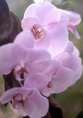 1980_MG_4483 (vincent alexandre bourzeix) Tags: nature fleurs garden orchids jardin nantes orchides