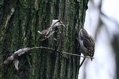 _HNS7167 Boomkruiper : Grimpereau des jardins : Certhia brachydactyla : Garten-Baumlaufer : Short-toed Treecreeper