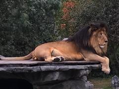 Bored Lion...
