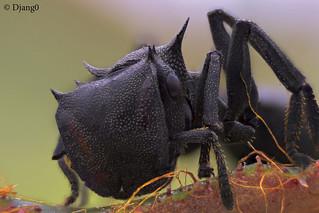 Cephalotes Sp. Ecuador close up
