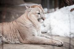 "- (Alexey ""less"" Sorokin) Tags: animal zoo puma"