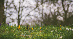 Frhblher (FizzGE) Tags: plant flower nature deutschland spring flora blossom bokeh natur pflanze crocus bloom blume blte frhling rheinlandpfalz krokusse frankenthalpfalz 2lopreset 2losweetfairytales