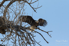 Bald Eagles copulating sequence - 27 of 28