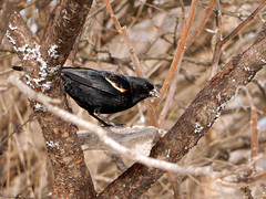 Red-winged Blackbird (gmspanek) Tags: blackbird redwinged