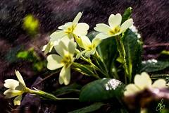 Primule di Primavera (Torchia Marco) Tags: primavera vintage sony primule vivitar f25 105mm serie1 sottobosco ilce6000