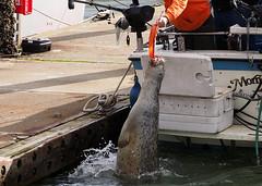 More lunch (Tony Cyphert) Tags: seal harborseal islandadventures islandadventureswhalewatching