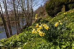 The Weir Garden (Macro light) Tags: flowers sunlight water sunshine spring herefordshire hereford nationaltrust daffodils waterscape riverwye theweirgarden
