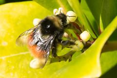 Bilberry Bumblebee- Bombus monticola (linanjohn) Tags: uk macro nature wildlife bees lakedistrict insects bumblebee cumbria borrowdale hymenoptera bombidae bombusmonticola bilberrybumblebee