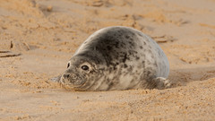 Grey Seal Pup - Mottled grey fur - Winterton Beach (Clive_Bushnell) Tags: uk winter sea slr beach nature digital canon eos grey coast seaside wildlife north norfolk gray atlantic telephoto seal seals british clive winterton bushnell greyseal wintertononsea mamals halichoerus grypus clivebushnell