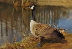 Canada Goose (Warwick Wolf) Tags: canadagoose brandonmarsh sony1650mmf28 sonya77mk2