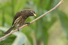 La Cigua palmera, palmchat  (Dulus dominicus) (Gogolac) Tags: bird birds fauna birdie location read republicadominicana birdphotography palmchat dulusdominicus birdspot birdingrd canon7dmii birdsspotters reservaecologicaaguadulce laciguapalmera